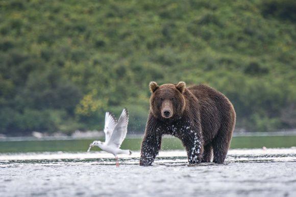 דוב באגם קוריל